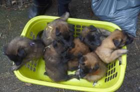 Puppies-17-08-2019-5-weken-3